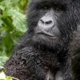 Es sabido mi inquieta voracidad de conocimientos sobre los grandes simios de este planeta, de las investigaciones para saber más sobre ellos, y por supuesto de su protección. En varias […]