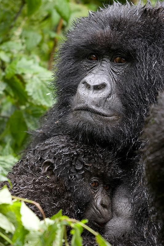 gorilas_aranchacastresana