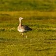 Como en la mayoría de las aves, la avutarda (Otis tarda) presenta una clara diferenciación entre el macho y la hembra. Dicho dimorfismo se caracteriza primero por el tamaño del […]