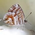 Hoy os mostramos otra especie de insecto que está dando grandes quebraderos de cabeza a los amantes de las plantas decorativas principalmente a los que tienen geranios en sus balconadas. […]
