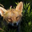 El zorro común, o zorro rojo (Vulpes vulpes) es uno de los carnívoros más comunes en la península ibérica. Históricamente lo podemos ver en Europa, Asia, Norte América y algunos […]