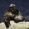 Todos los animales viven con la tensión de la caza y protección de la misma. En esta imagen podemos ver como un adulto de águila real ( Aquila chrysaetos ) […]