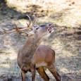 Se conoce comunmente como berrea el periodo de celo del ciervo, por el bramido que emiten los machos La berrea comienza a principios del otoño boreal, normalmente a finales de […]