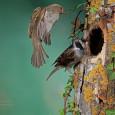 EL gorrión común ha sido catalogado por la SEO Birdlife como ave del año 2016 Estos pájaros son los más adaptables en cuestión de hábitat y alimentación pero se encuentran […]