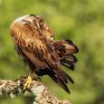 Este lunes, nuestro compañero Javier Sanchís nos enseña una imagen de una hembra de Aguilaperdicera acicalándose. Pincha en la imagen para ampliar  Después de haberse alimentado, esta hembra de […]