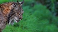 """Para este lunes de final del mes de marzo, os mostramos una foto del mamífero carnívoro más amenazado del planeta, el lince ibérico """"lynx pardinus"""" . La fotografía fue realizada […]"""