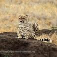 Cuando se es un depredador y se comparte el mismo territorio de caza la pelea está servida. Estábamos viendo, ya casi saliendo del famoso parque de Tanzania, cómo un guepardo […]