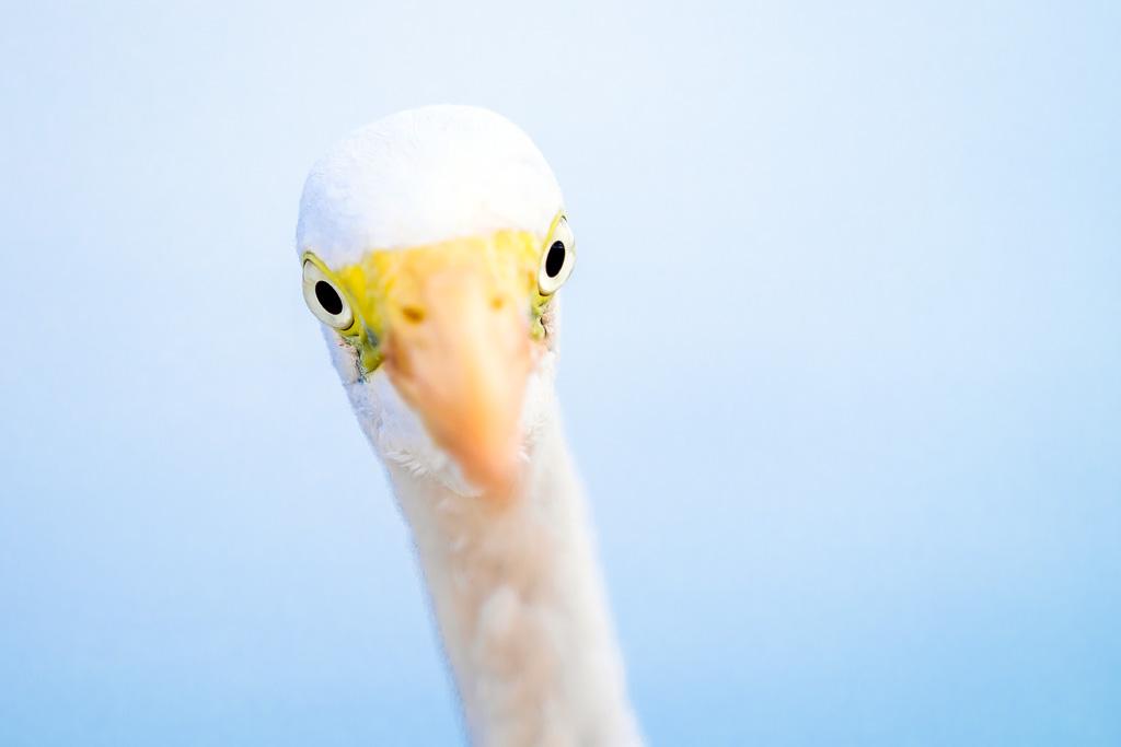 Retrato de garceta grande (Egretta alba) © Javier Abad/countrysessions.org